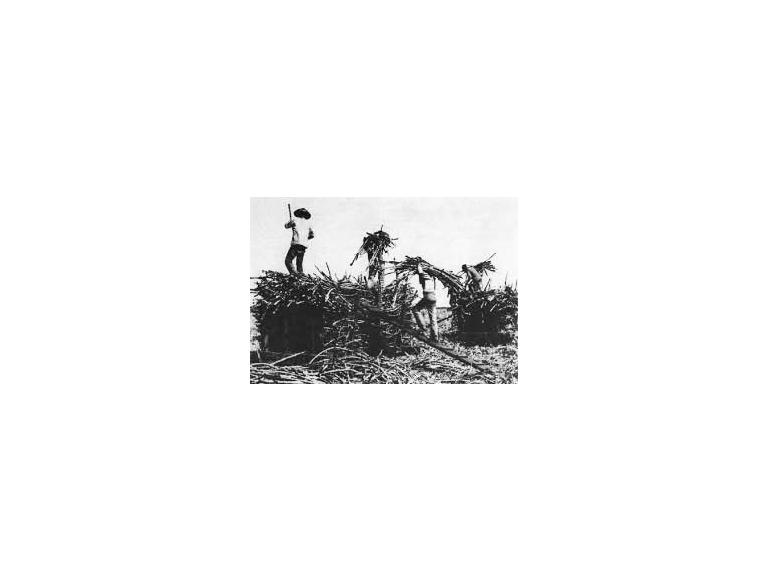 Immigrant cane workers in the field